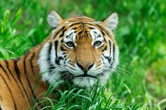 Bringing Tigers Back From The Brink http://www.worldanimal.foundation/advocate/bringing-tigers-back-from-the-brink