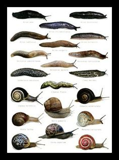 Easy ways to rid slugs and snails organically! When slugs and snails invade gardens they can certainly cause some real damage consuming up t. Organic Herbs, Organic Gardening, Gardening Tips, Getting Rid Of Slugs, Pet Snails, Snail Art, Pet Fish, Garden Pests, Slugs In Garden