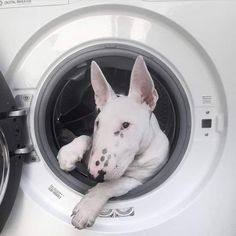 Mini Bull Terriers, English Bull Terriers, Bull Terrier Dog, Animals And Pets, Funny Animals, Cute Animals, Funny Dogs, Cute Dogs, British Bull Terrier