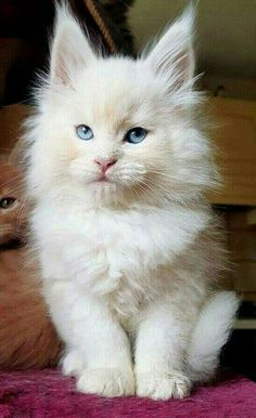 Interested in owning a Maine Coon cat and want to know more about them? We've made this site to tell you all you need to know about Maine Coon Cats as pets Cute Cats And Kittens, I Love Cats, Crazy Cats, Cool Cats, Kittens Cutest, Pretty Cats, Beautiful Cats, Animals Beautiful, Image Chat