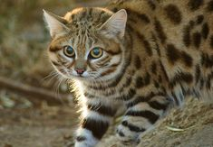 Black-footed Cat | South Africa Wildlife Black-footed Cat {Felis nigripes}