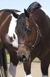 Magic Ninety Nine | Tobiano Paint Horse Stallion | Breeding & Shipped Semen Information