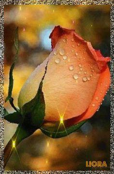 F͞o͞r͞ y͞o͞u͞   ♡♥♡ Beautiful Flowers Pictures, Beautiful Flowers Wallpapers, Beautiful Roses, Flowers Gif, Pretty Flowers, Glowing Flowers, Good Night Flowers, Gif Photo, Cute Messages