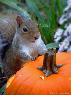 """Am here mom!!"" by Amy Smith on 500px - A Squirrel Enjoying an Autumn Pumpkin"