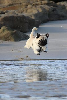 i-love-pugs: Join us on Facebook == Click Here...