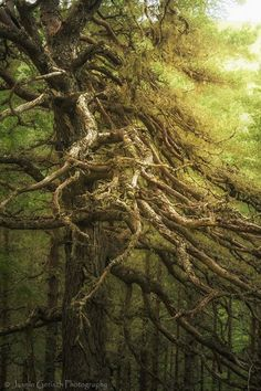 Old Tree in Glen Affric, Highlands of Scotland.