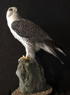 Beautifully taxidermy mature gyrfalcon - Stuffed birds, Bird taxidermy. - De Jachtkamer