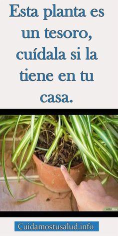Esta planta es un tesoro, cuídala si la tiene en tu casa #consejo #hogar #casa #planta #cuidar #mata