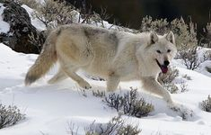JACKSON HOLE, WYO – Yellowstone officials have confirmed to Buckrail that the famous white wolf found dying last month was shot. Preliminary results from the necropsy of the Canyon Pack alpha female wolf showed that she suffered from a gunshot … Wolf With Blue Eyes, Wolf Eyes, Wolf Photos, Wolf Pictures, Beautiful Wolves, Beautiful Dogs, Alpha Female Wolf, Yellowstone Wolves, Yellowstone Park