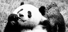 Panda gigante comiendo                                                       …