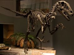 Utahraptor's were covered in feathers though they couldn't fly. They are closely related to the velociraptor.