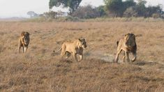 It is almost unbelievable to think that we are halfway through our Kafue season and Busanga is still rocking its lion drama. There has been lots to see, confirms Shumba guide Isaac Kalio. Castor And Pollux, Lion Pride, African Safari, Wilderness, Two By Two, Twins, Seasons, Wildlife Nature