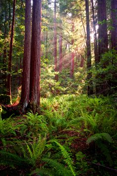 ☀Into the Woods by Wayne Boland on 500px ~ Muir Woods in late afternoon.*