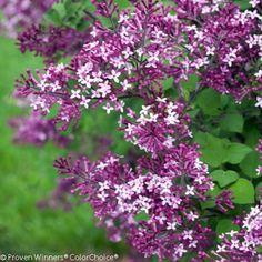 "Bloomerang Dark Purple® Lilac - Syringa - Proven Winners - 4"" Pot"