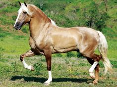 Mangalarga Marchador stallion Fator da Cavarú-Retã