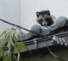 A raccoon dog hiding on a roof in Tokyo.  You can see wild animals if you keep your eyes open!  東京たぬき