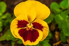 Pansy by Paulo Luft, via 500px