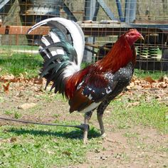 735 Best Game fowls images in 2019 | Game fowl, Game birds