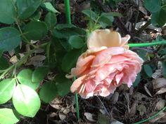 Love those antique roses.  Republic of Texas rose from Antique Rosé Emporium.