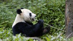 Bedrohte Tierart: Großer Panda