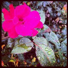 #raindropsonroses #favoritethings #justkillingtimereally #rose #raindrops #rain
