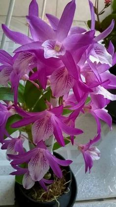 aynsley just orchids Unusual Flowers, Most Beautiful Flowers, Rare Flowers, Pretty Flowers, Purple Flowers, Rare Orchids, Dendrobium Orchids, Orquideas Cymbidium, Comment Planter