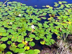 Monet by the billabong Monet, Billabong, Plants, Beautiful, Flora, Plant, Planting