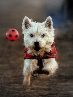 West Highland Terrier chasing after his favourite ball.