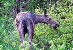 Mooseworld: Driving for Moose, A New England Moose Travelogue