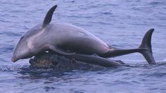 Les dauphins et les baleines ont beaucoup de points communs. Partageant non seulement les océans du monde, ces deux espèces sont aussi très riches en enseignements pour l'Homme grâce à leur intelligence développée. D'après les obs...