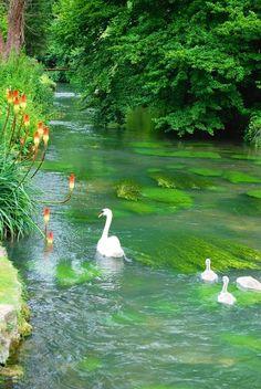 Swans in dreamy flowing water.
