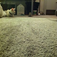 """""""My bearded dragon enjoys cat toys more then the cats do."""" #beardeddragonfunny #beardeddragoncage"""