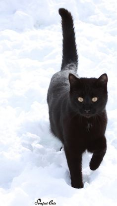 Onyx in the snow - Black cat #cat #cats