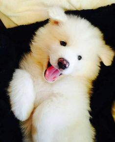 Little Samoyed puppy Fluffy Puppies, Cute Dogs And Puppies, Baby Dogs, I Love Dogs, Pet Dogs, Dog Cat, Bulldog Puppies, Doge Dog, Cavapoo Puppies