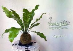 Kokedama Asplenium  Consultas: eve@verdejade.com  www.VerdeJade.com