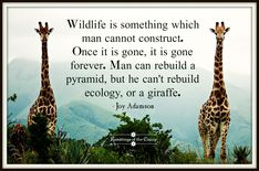 Wildlife is something which man cannot construct. Once it is gone, it is gone forever. Man can rebuild a pyramid, but he can't rebuild ecology, or a giraffe #Adamson #wildlife #ecology #nature #conservation #giraffe