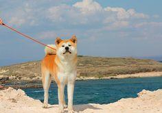 Japanese Akita.  My favorite dog in the world!