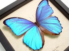 Valentine's Day Gift Morpho Didius Giant by REALBUTTERFLYGIFTS, $69.99