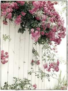Climbing mauve roses cascading over white fence...
