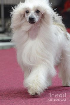 I own a Chinese Crested powderpuff and love the breed so much (I also hope to breed it in the near future)