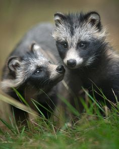 Baby Raccoon Dogs by Andris Eglītis.