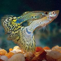 "$3, 2"" max patterned coloration of the Male Green Cobra Guppy is spectacular! A bright green, gray, and yellow body with a snakeskin pattern and a yellow and black patterned tail fin makes it a unique addition to your aquarium. This is a color variation of the Poecilia reticulate guppy, which is farm-raised originally in Singapore."