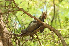 Iguane delicatissima (male)