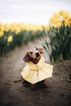 a-hound-dog: Spring is coming. Ellie, dachshund, 6 years old. Mount Vernon, Washington.