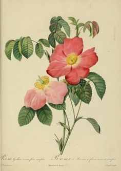 Rosa Gallica (Rosier de Provins).Plate from 'Les Roses' (1824) by P. J. RedoutéCalifornia State Library archive.org