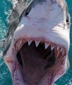 Great White Shark. This is kinda scary haha