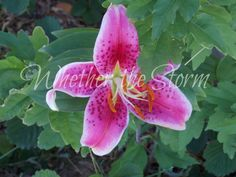 "Pink Tiger Lily ""Ferocious Floret"" by WhetherTheStorm on Etsy"