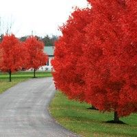 """Autumn Blaze Maple (fast growing, but weak, short lived tree that the arborist did not recommend) """"You can have an old <autumn> flame, but NOT an old <autumn> blaze."""" - Planted in the front NE corner of the yard."""