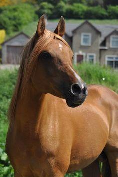 image via fhotd64467.yuku.com / > looks like a Arabian? but no matter what, he is gorgeous.AP