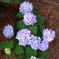 My purple hydrangeas